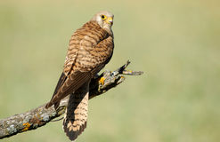Female kestrel perched on a branch Royalty Free Stock Photos