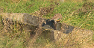 Female Kestrel with prey Royalty Free Stock Photography