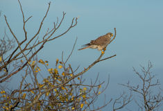 Female Kestrel on a tree Stock Images