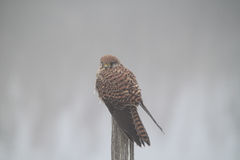 Female kestrel on a wooden pole Stock Photo