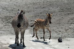 Female and kid zebra Royalty Free Stock Photo