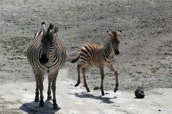 Female and kid zebra. A female zebra and its kid in the Ngorongoro Reserve. Tanzania royalty free stock photo