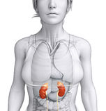Female kidney artwork Royalty Free Stock Image