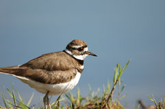 Female Killdeer Stock Photos