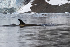 Female killer whale that floats along the Antarctic Stock Photos