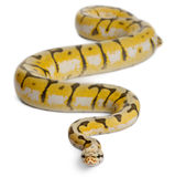 Female Killerbee Royal python, ball python Royalty Free Stock Image