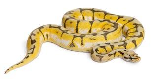 Female Killerbee Royal python, ball python royalty free stock images