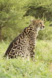 Female King Cheetah (Acinonyx jubatus) South Africa Royalty Free Stock Photos