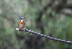 Female Kingfisher in the rain Stock Images