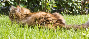 Fur cat lying on the grass green. Siberian purebred female Royalty Free Stock Photography