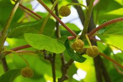 Female Kiwi Flower Buds stock image
