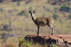 Female klipspringer Royalty Free Stock Photography