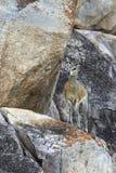 Female Klipspringer - Namibia. A well camouflaged female Klipspringer (Oreotragus oreotragus) in Etosha National Park in Namibia Stock Image