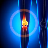 Female Knee Joint - Anatomy Bones Stock Image