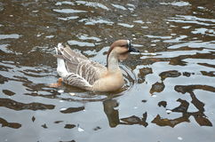 Female knob goose Royalty Free Stock Images