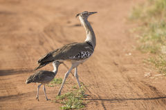 A Female Kori Bustard with her chick, Tarangire, Tanzania Royalty Free Stock Image