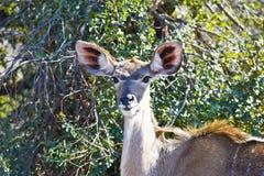 Female Kudu Royalty Free Stock Photo