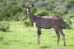 Female kudu Stock Photos