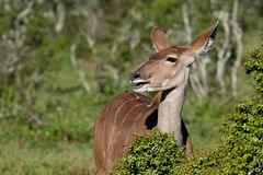 Female Kudu. In Addo National Park, South Africa Stock Images