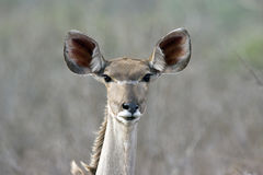 Female kudu Royalty Free Stock Image