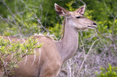A female kudu. A large species of antelope, on a South African game farm Royalty Free Stock Photography