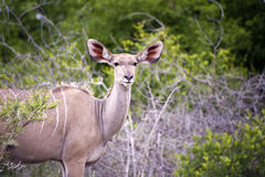 A female kudu Royalty Free Stock Photo