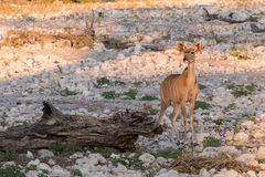 Female Kudu alone at waterhole Royalty Free Stock Images