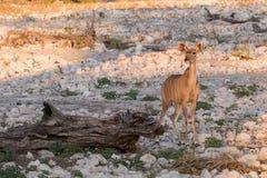 Female Kudu alone at waterhole Royalty Free Stock Images