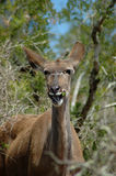 Female Kudu Antelope. Portrait of female kudo antelope in dense thicket Stock Images