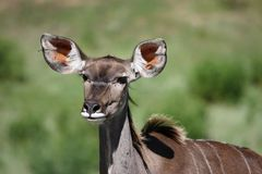 Female Kudu Antelope Royalty Free Stock Photos