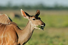Female kudu antelope Royalty Free Stock Photography