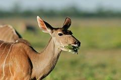 Female kudu antelope Royalty Free Stock Photography