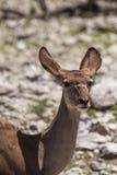 Female Kudu Antelope in Etosha National Park, Namibia Stock Photo