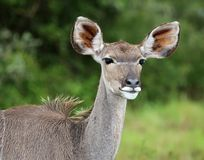 Female Kudu Antelope Royalty Free Stock Image