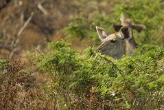 Female kudu browsing. A female kudu is browsing the bushed of the St.Lucia Wetland park in southafrica Royalty Free Stock Image