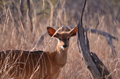 A Female Kudu Buck Royalty Free Stock Photo