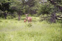 Female Kudu with calf Stock Photos