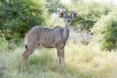 Female Kudu. In the bush of Okavano Delta, Botswana Stock Images