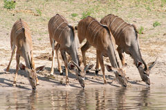 Female kudu drinking. Four female kudu drinking water at a rivers edge Royalty Free Stock Photo