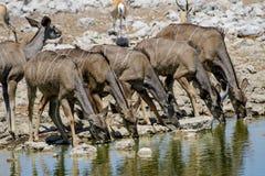 Female Kudu drinking at the waterhole. Female Kudu drinking in unison at the waterhole Stock Photo
