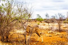 Female Kudu in Kruger National Park in South Africa. Female Kudu in drought affected area of central Kruger National Park in South Africa stock photo