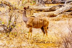Female Kudu in Kruger National Park in South Africa. Female Kudu in drought affected area of central Kruger National Park in South Africa royalty free stock images
