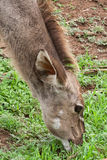 Female Kudu when eating in the Pilanesberg Game Reserve, South Africa. Stock Photography