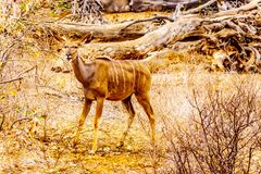 Female Kudu in Kruger National Park in South Africa. Female Kudu in drought affected area of central Kruger National Park in South Africa stock images
