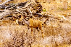 Female Kudu in Kruger National Park in South Africa. Female Kudu in drought affected area of central Kruger National Park in South Africa royalty free stock photography