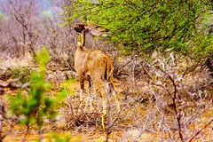 Female Kudu in Kruger National Park in South Africa. Female Kudu in drought affected area of central Kruger National Park in South Africa stock photography