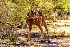 Female Kudu near Skukuza in Kruger National Park Stock Photo