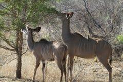 Female Kudu's Royalty Free Stock Photos