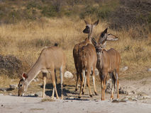 Female Kudu at a salt-lick Stock Photos