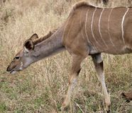 Female Kudu. Smelling the wet grass in Kruger Park Royalty Free Stock Images
